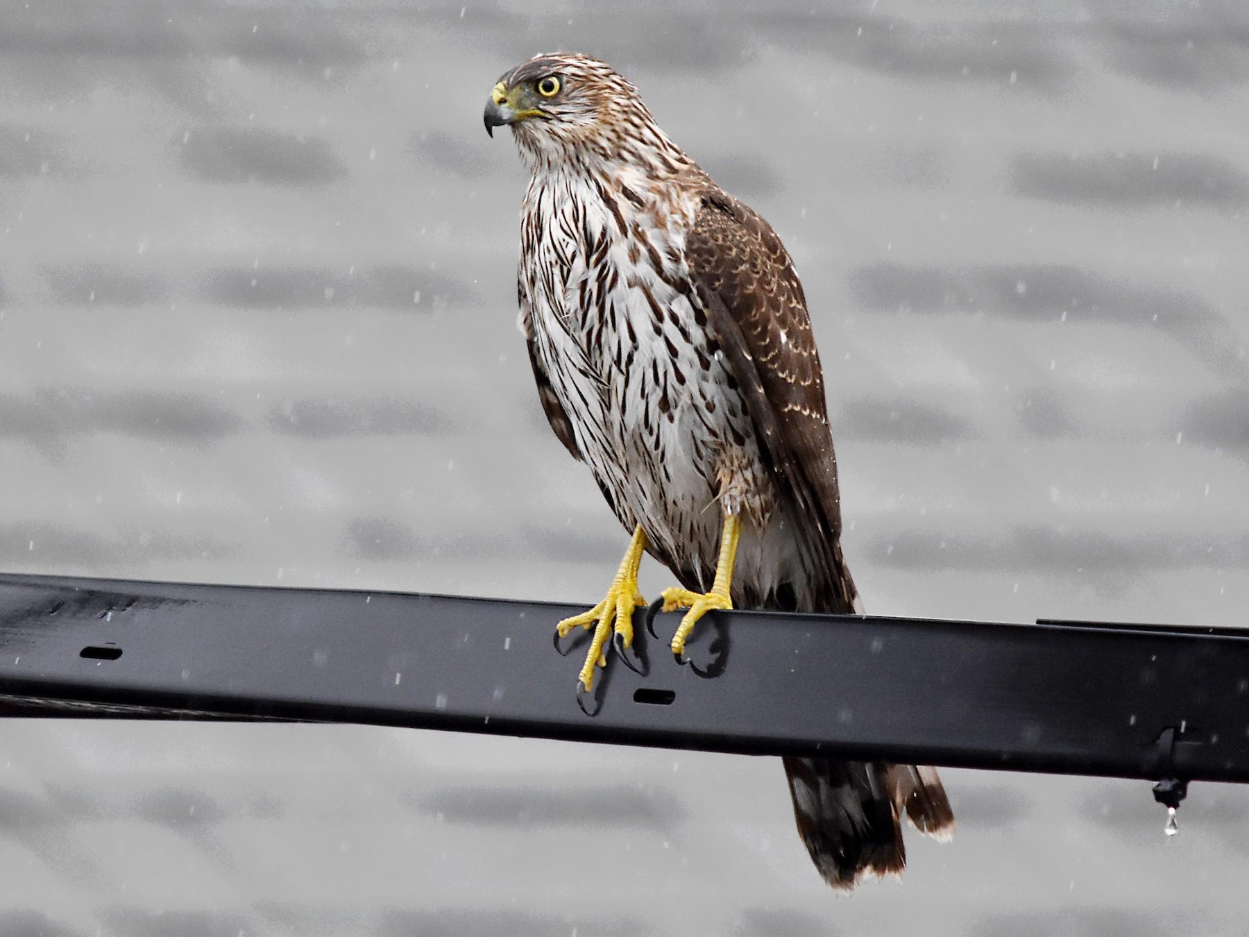 Cooper's Hawk - Geoffrey Groom