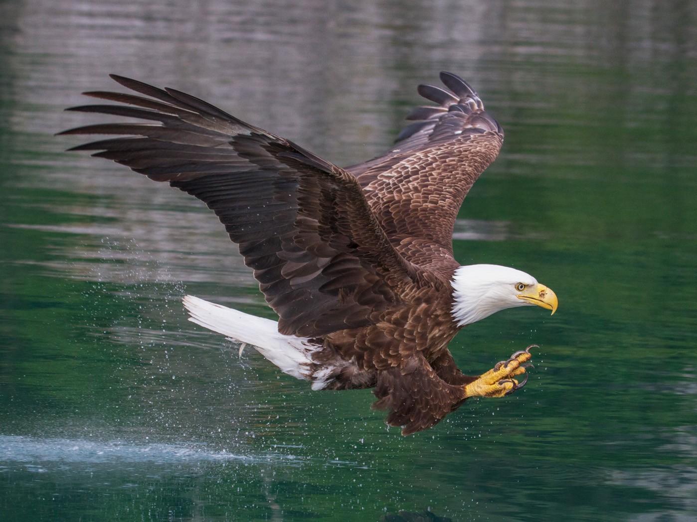 Bald Eagle - Scott Heidorn