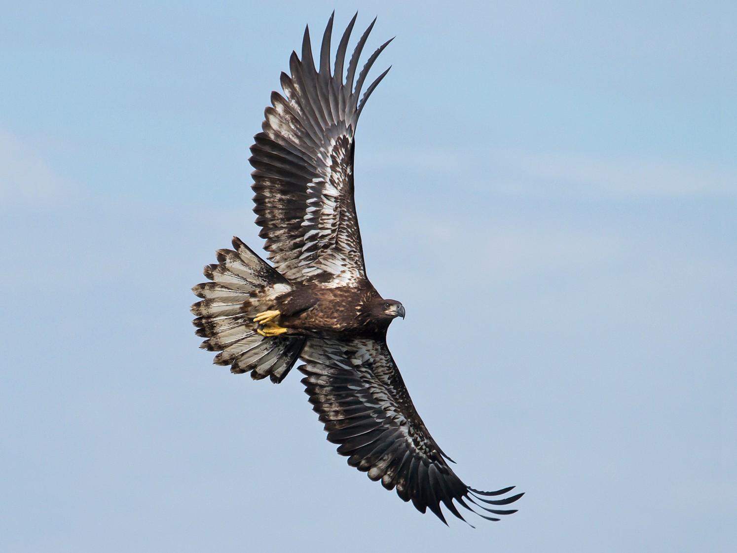 Bald Eagle - David Trescak