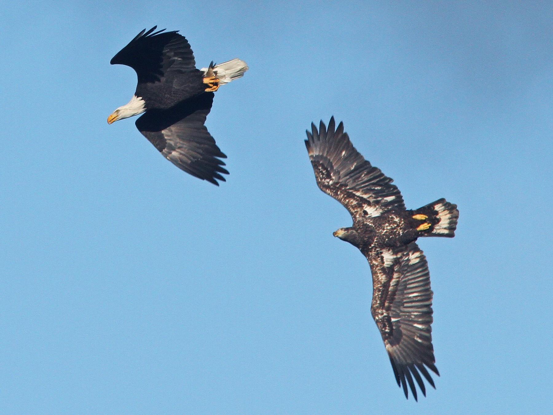 Bald Eagle - Larry Therrien
