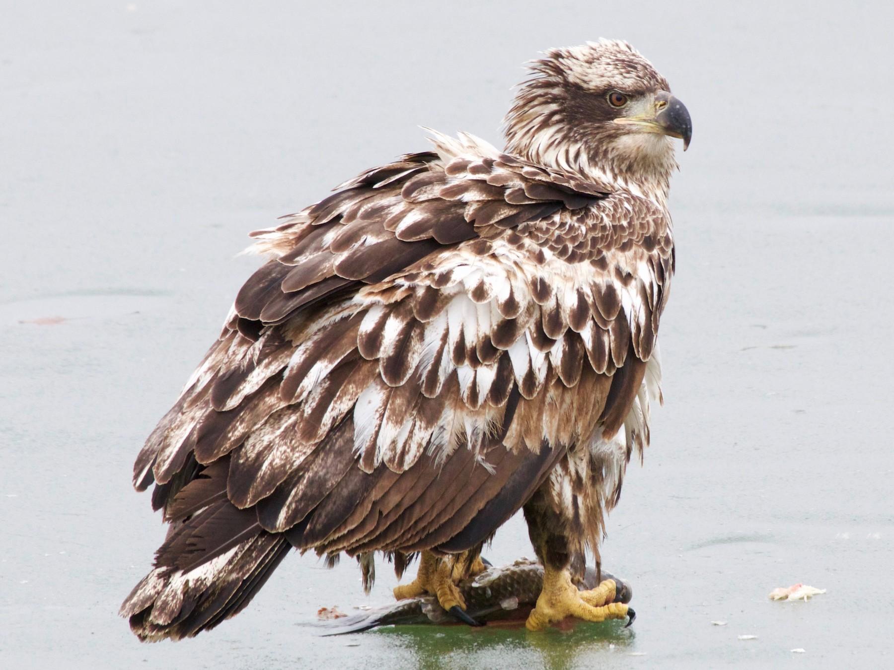 Bald Eagle - Karl Overman