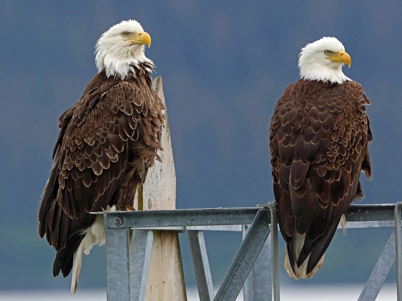 Bald Eagle - Nigel Voaden