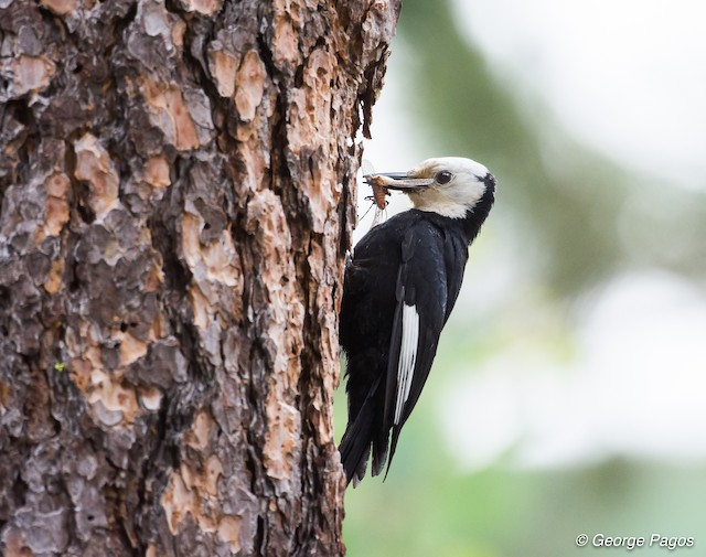 White-headed Woodpecker with mouthful of food.