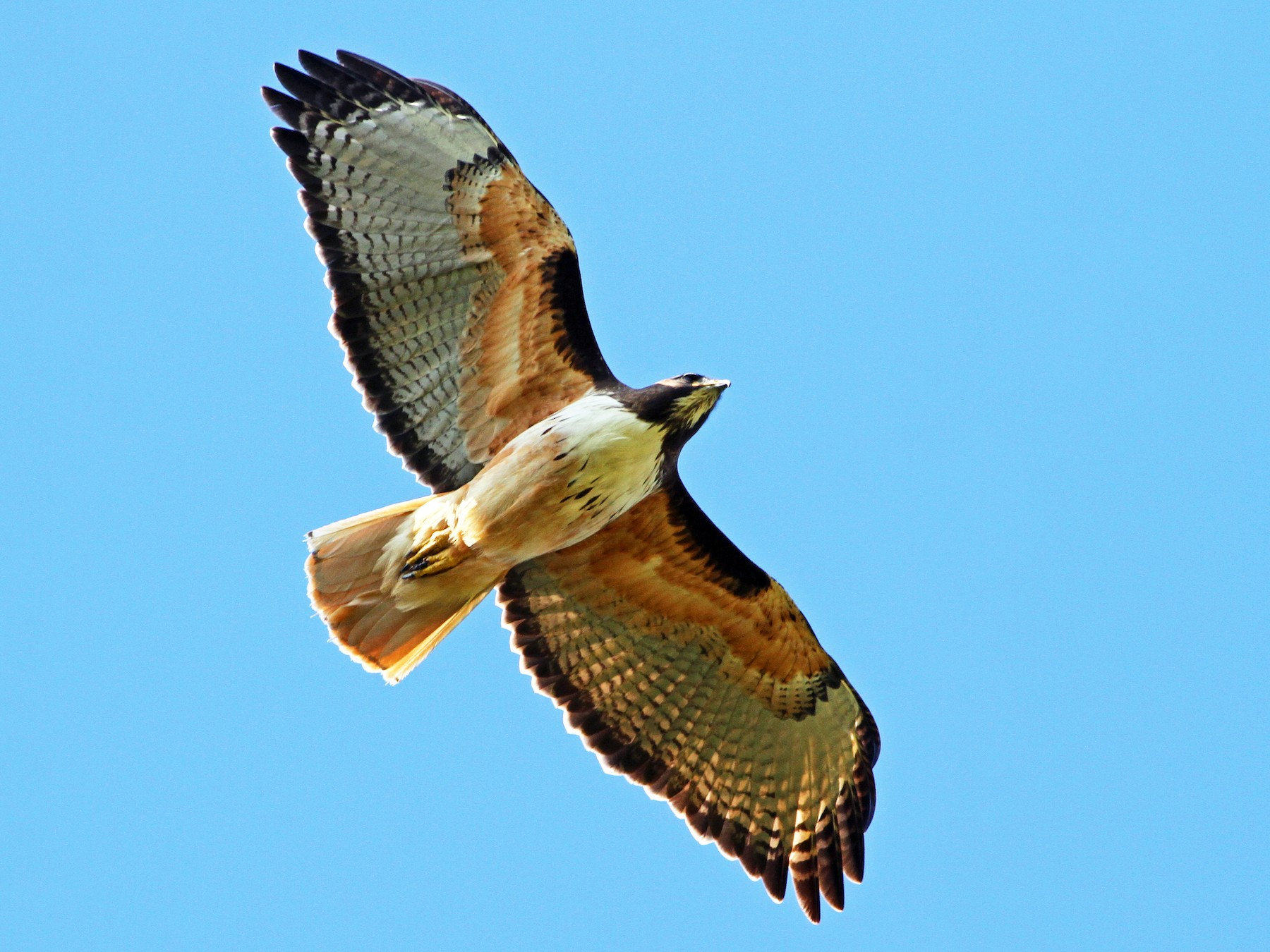 Red-tailed Hawk - Andrew Spencer