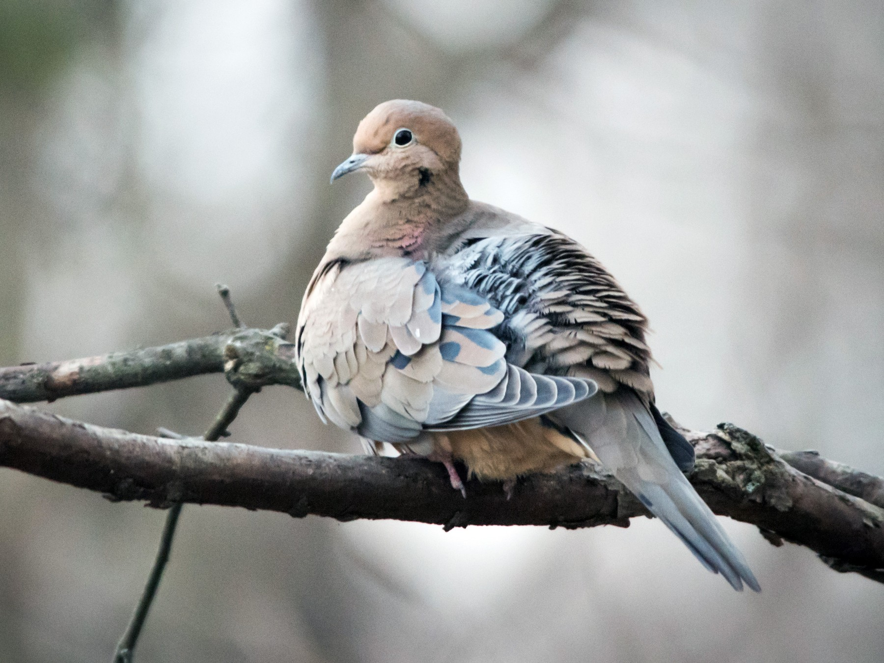Mourning Dove - Tyler Ficker