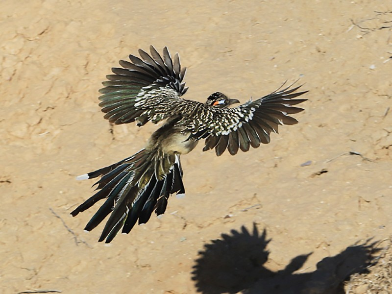 Greater Roadrunner - Moe Bertrand