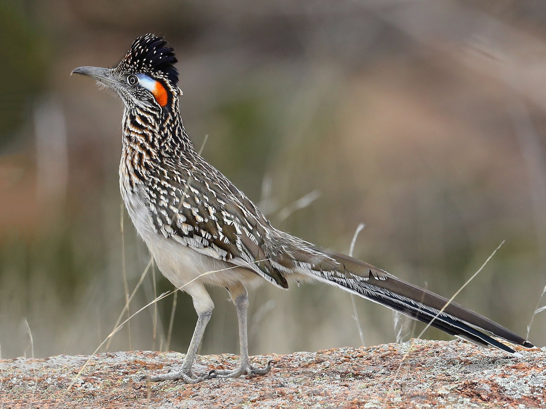 Greater Roadrunner - Charles Lyon