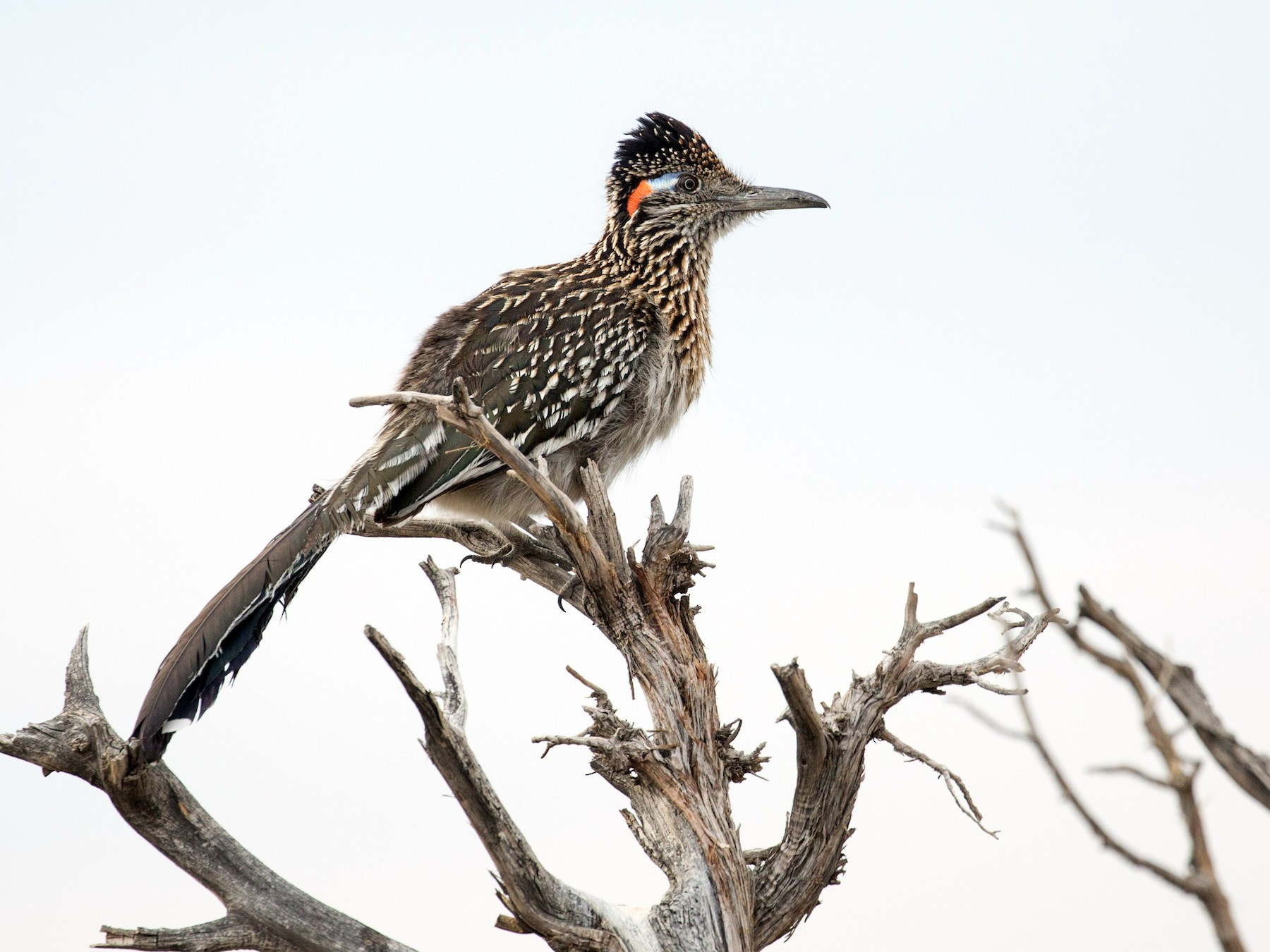 Greater Roadrunner - Darren Clark