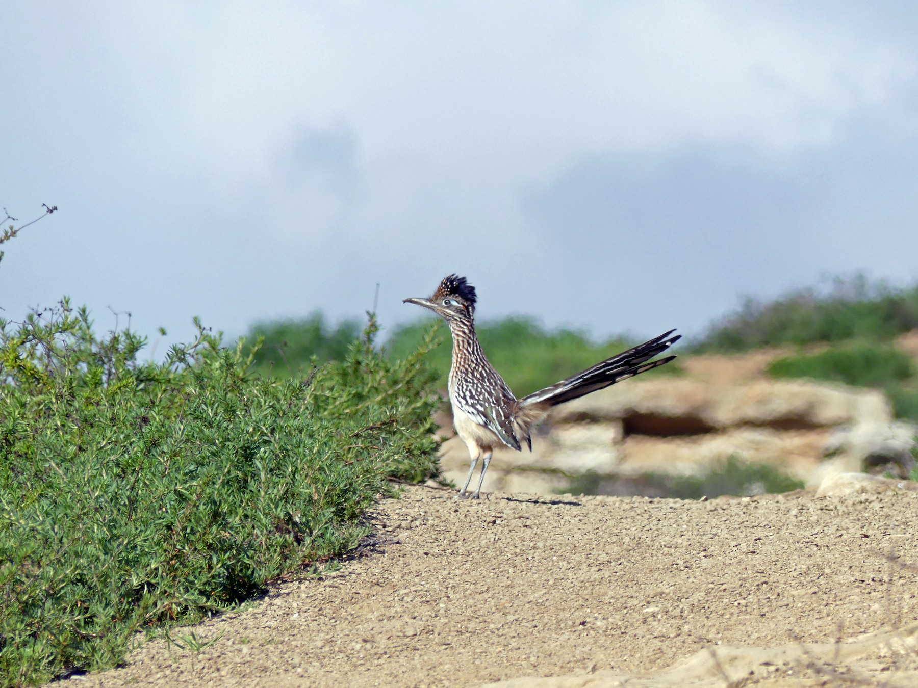 Greater Roadrunner - Walter Piper
