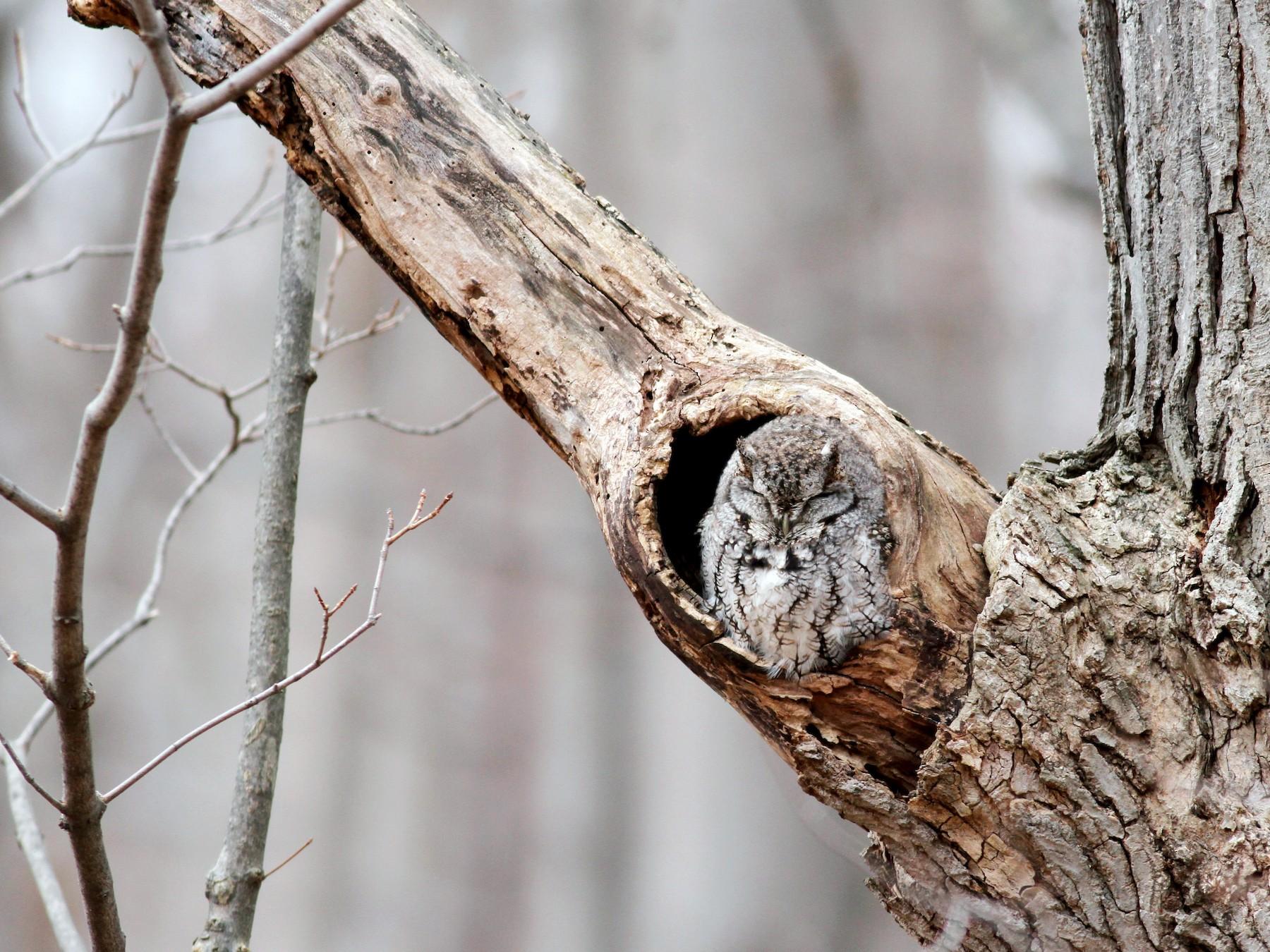 Eastern Screech-Owl - Jay McGowan