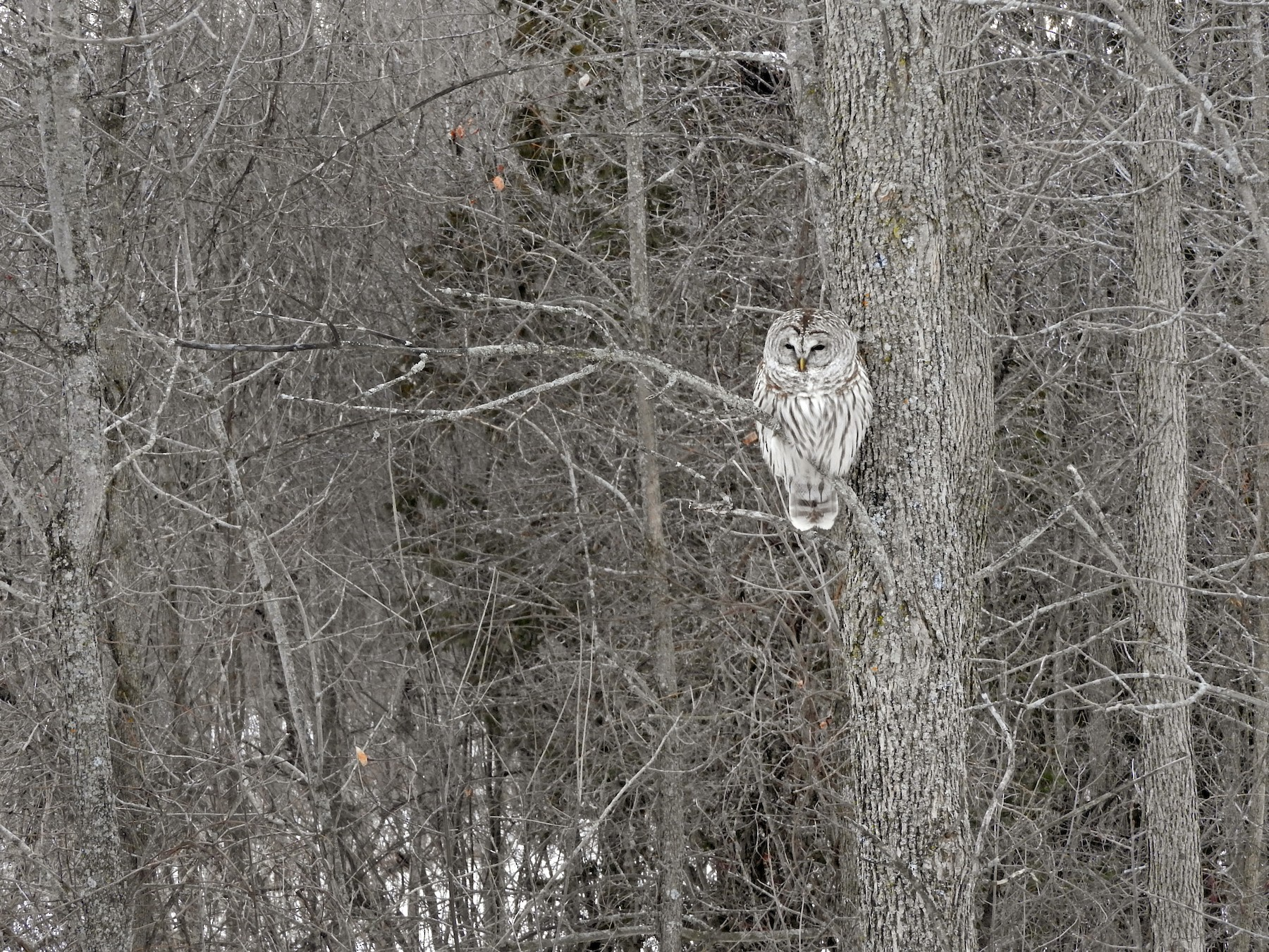 Barred Owl - Scott Gibson