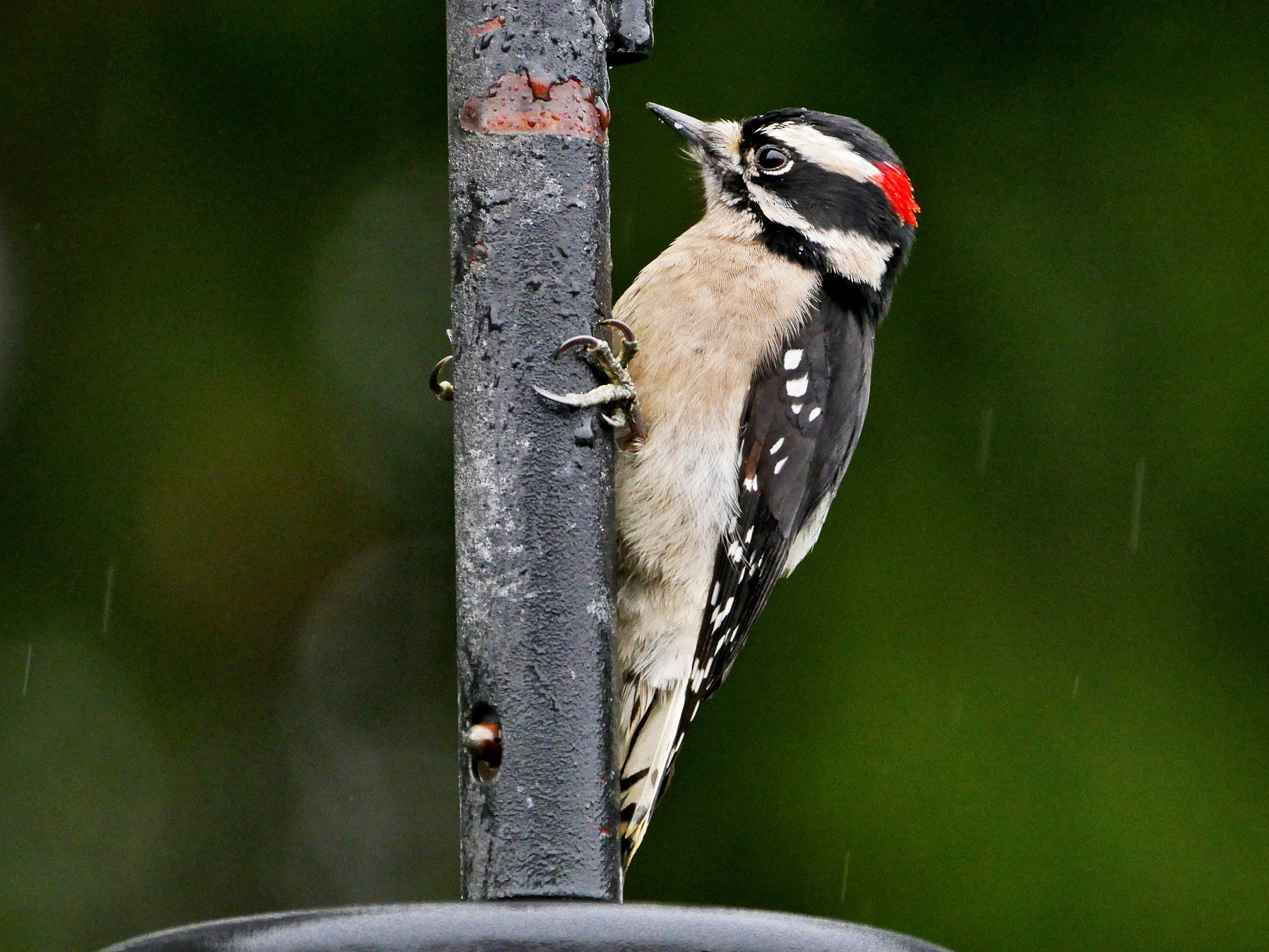 Downy Woodpecker - Grace Oliver