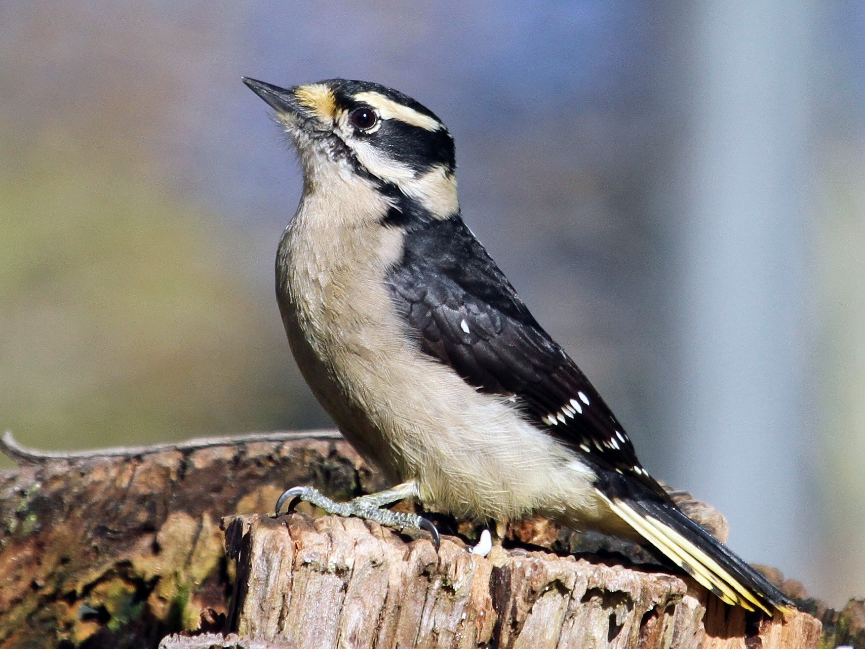 Downy Woodpecker - John F. Gatchet