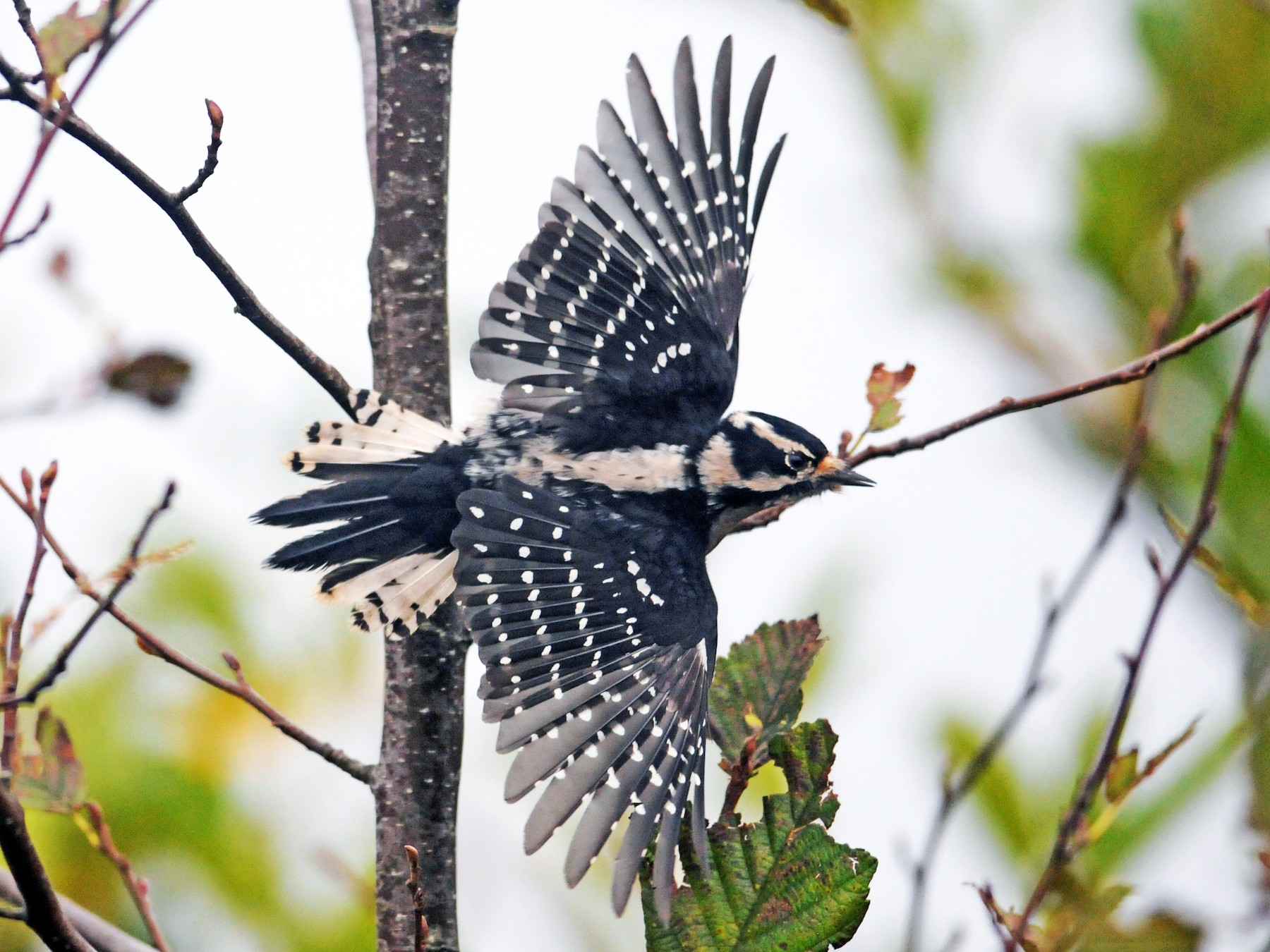 Downy Woodpecker - Ryan Merrill