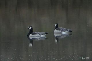 Barnacle Goose, ML60400921