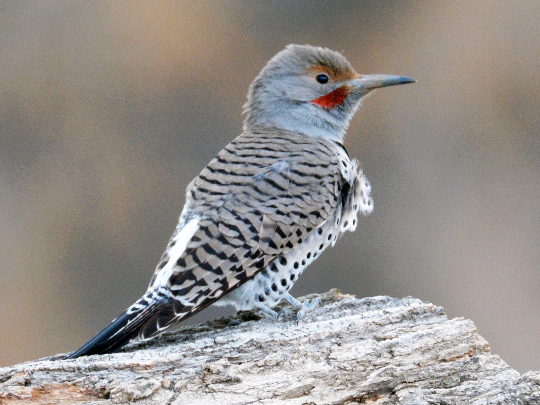 Northern Flicker - David Wade