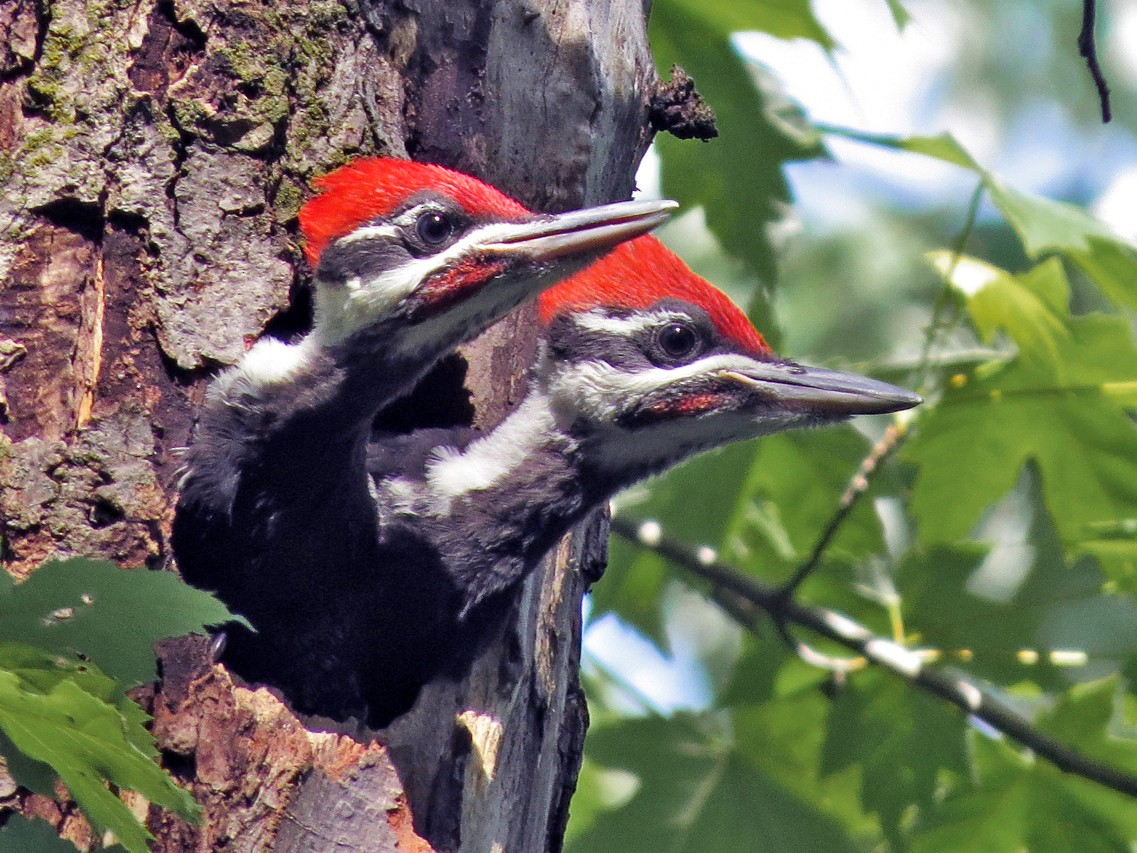 Pileated Woodpecker - Andrew Bendall