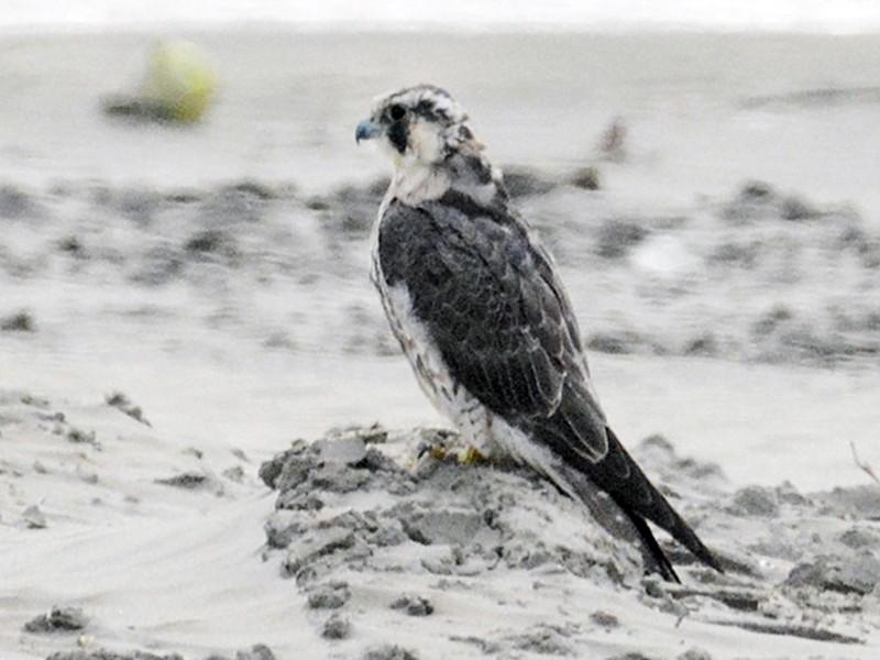 Peregrine Falcon - Bill Williams