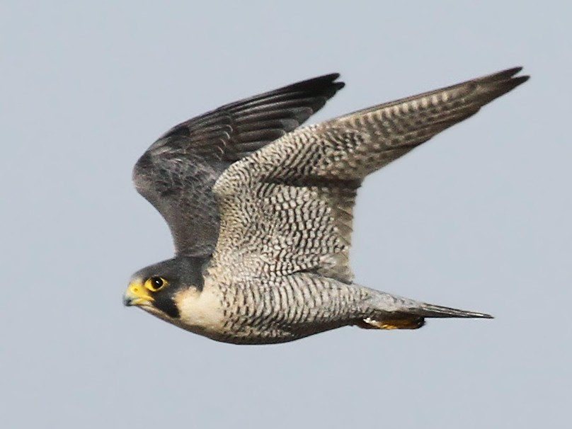Peregrine Falcon - Ryan Schain