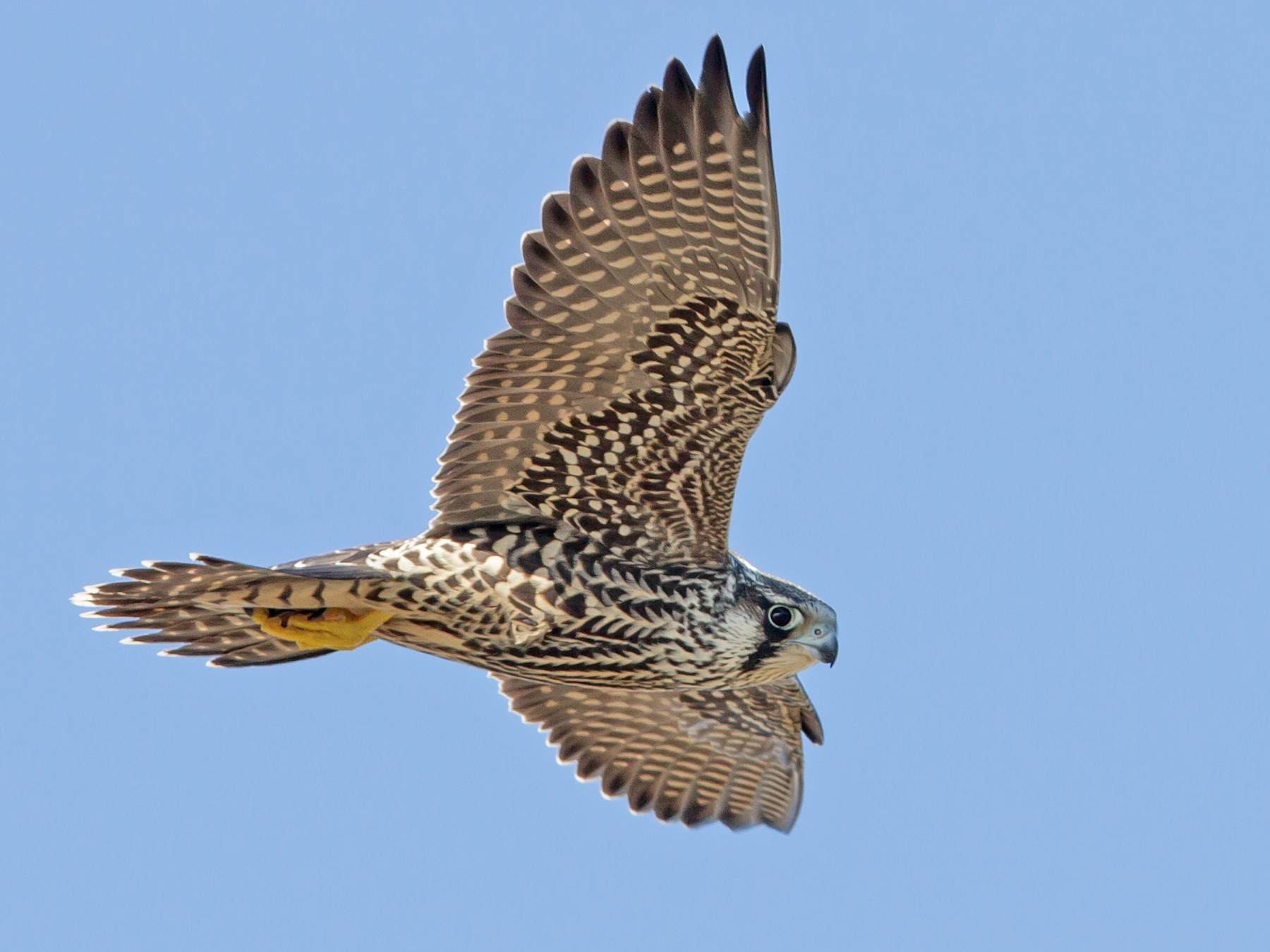 Peregrine Falcon - Historical Middleton Island Data