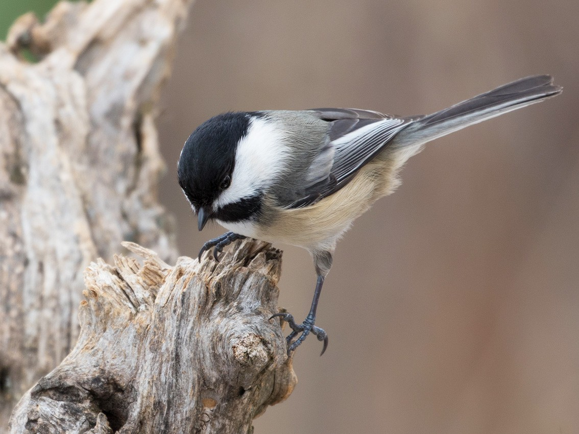 Black-capped Chickadee - Suzanne Labbé