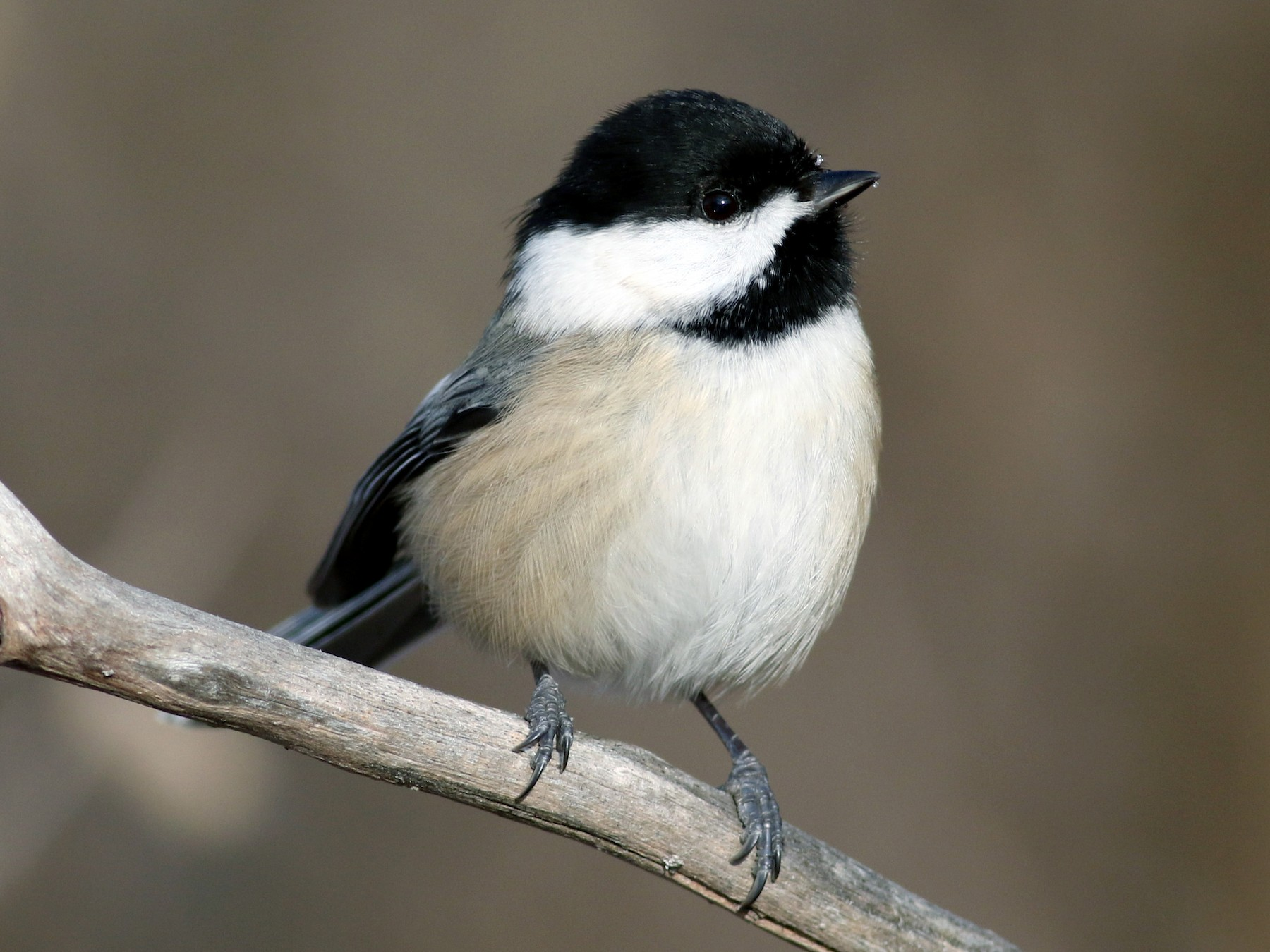Black-capped Chickadee - Jay McGowan