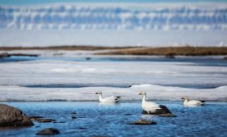 Snow Goose, ML60423391