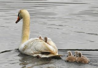 Mute Swan, ML60487351