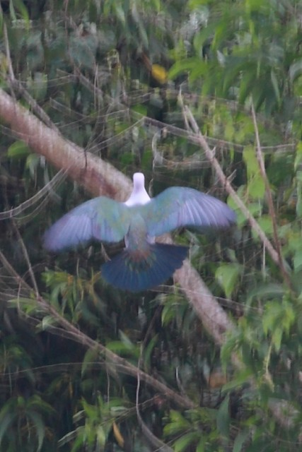 Green Imperial-Pigeon (Green)
