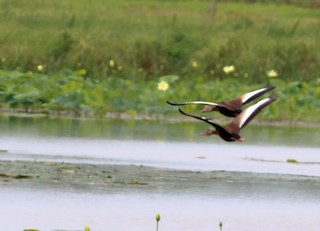 Black-bellied Whistling-Duck, ML60594371