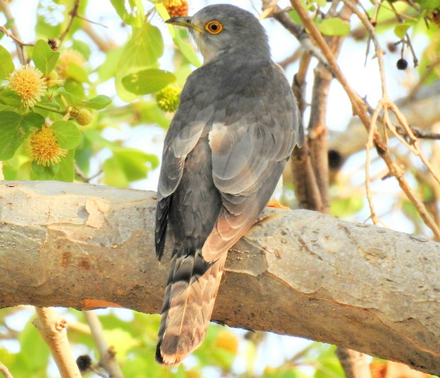 Common Hawk-Cuckoo