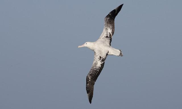 Wandering Albatross (Snowy)