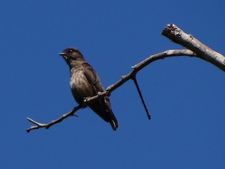 - Sooty Flycatcher