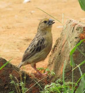 - Bob-tailed Weaver