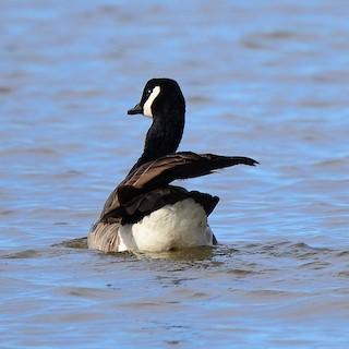 Canada Goose, ML60937101
