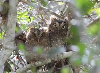 - Sokoke Scops-Owl