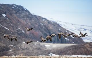 Canada Goose, ML60978791