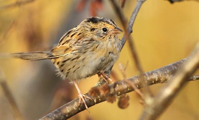 LeConte's Sparrow