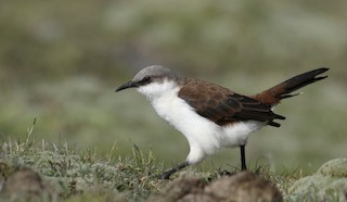 - White-bellied Cinclodes