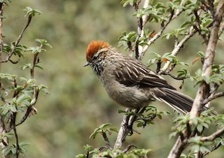 - White-browed Tit-Spinetail