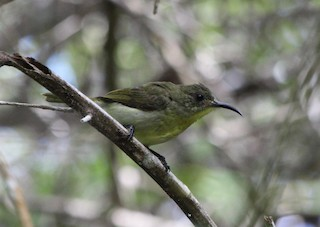 - Olive Sunbird