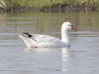 Ross's Goose, ML61105251