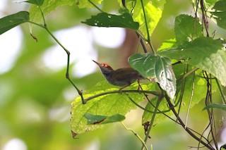 - Green-backed Tailorbird
