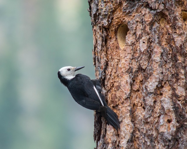 "Female White-headed Woodpecker (subspecies <em class=""SciName notranslate"">albolarvatus</em>)."
