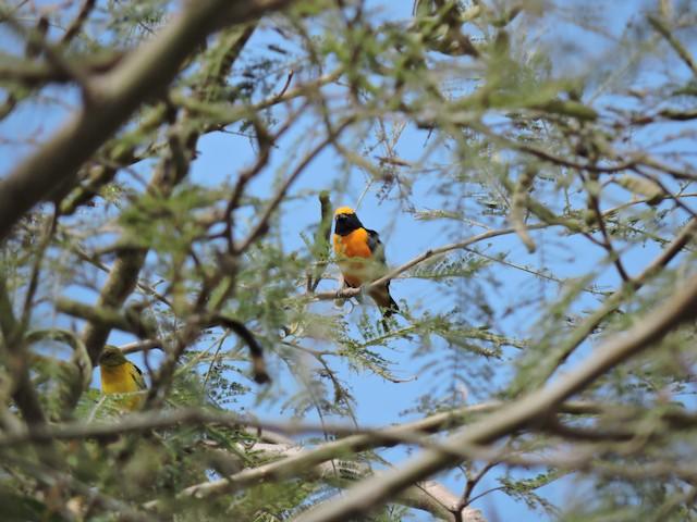 Orange-crowned Euphonia