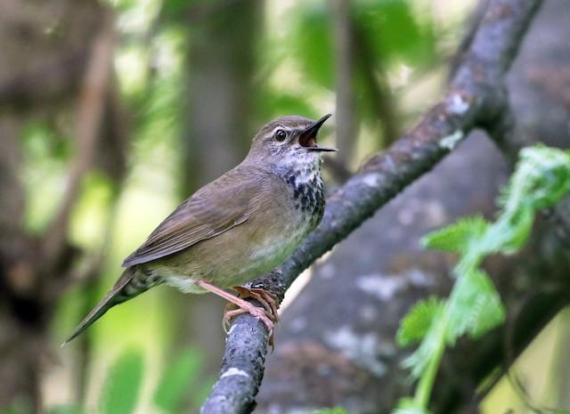 Baikal Bush Warbler