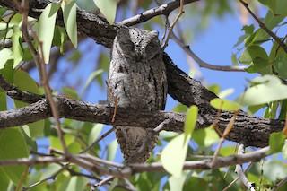 - African Scops-Owl