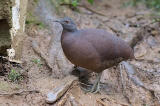Brown Tinamou, ML61307611