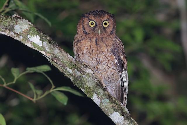 Black-capped Screech-Owl