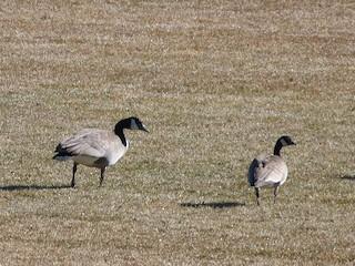 Cackling Goose, ML61332801